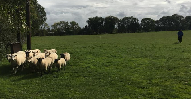 A herd of sheep in a green field on a traditional Irish farm