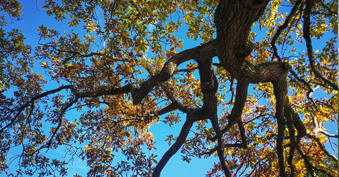 Yellow leaves on a tree branch in front of a bright blue sky
