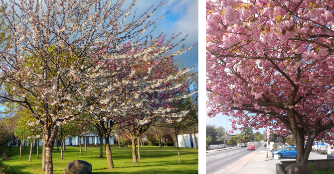 Cherry blossom trees with pink flowers