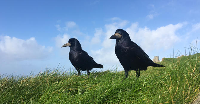 Two crows stand in a grassy area
