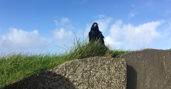 A single crow stands on a rock on in a grassy area