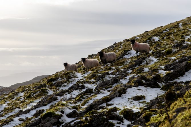 snow on a mountain with sheep