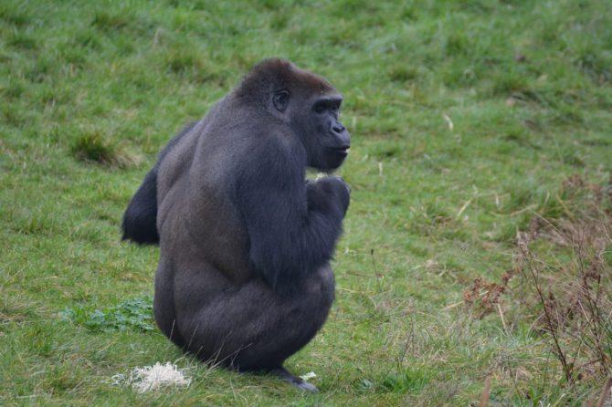 Gorilla sitting on grass in zoo