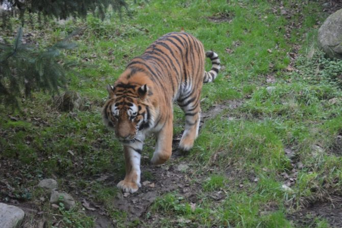 Tiger walking on grass in zoo