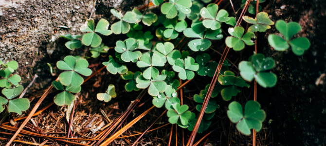 Shamrock and clover growing in a bunch